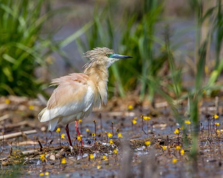 Squacco Heron.