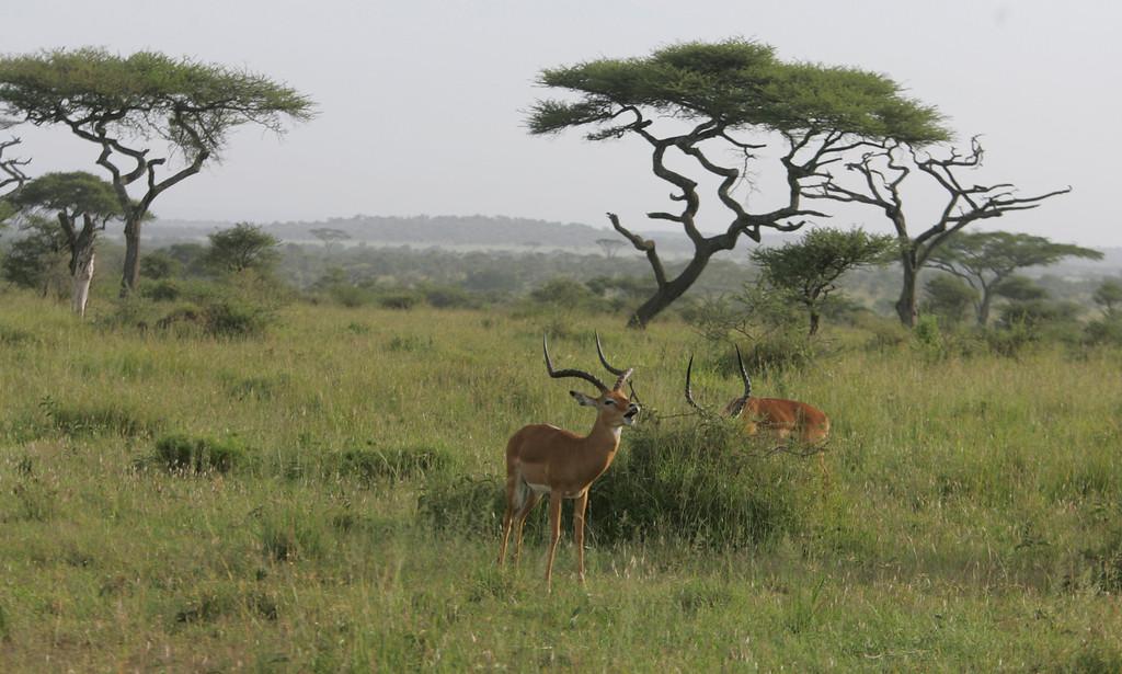 . A male impala in Serengeti National Park, Tanzania, Africa.