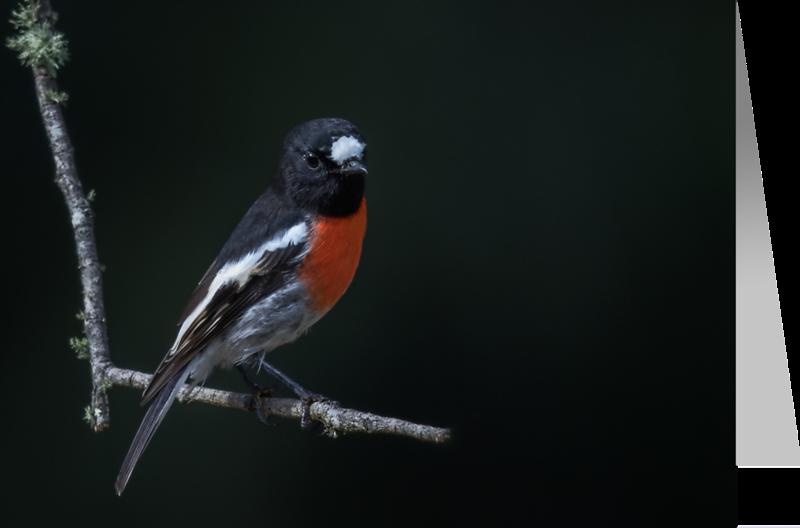 Scarlet Robin1.png