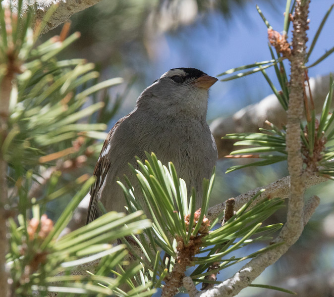White-crowned Sparrow (Oreantha} Mammoth Lakes 2020 05 24-1.CR2
