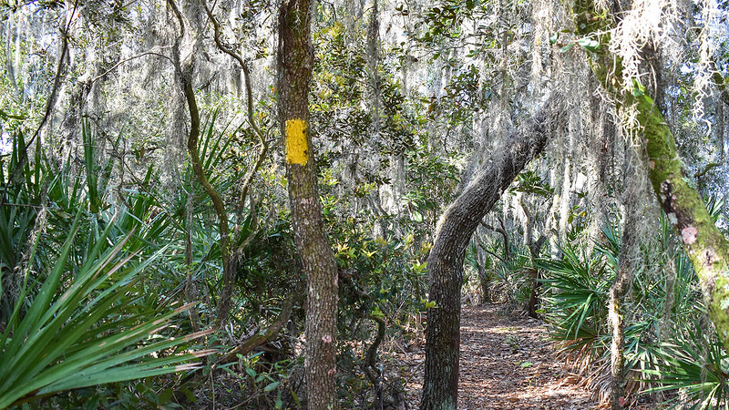 Yellow blaze on tree with Spanish moss