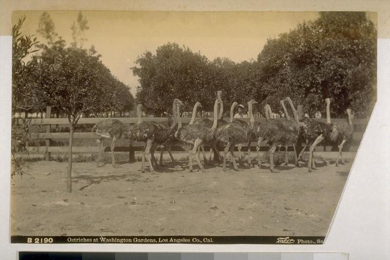 OstrichesAtWashingtonGardens1880-89.jpg