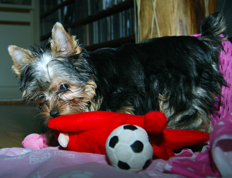022 Yorkshire Terrier at 15 weeks.jpg