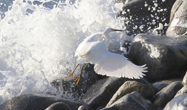 Great Egret Rocks