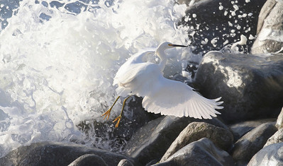 Great Egret Rocks