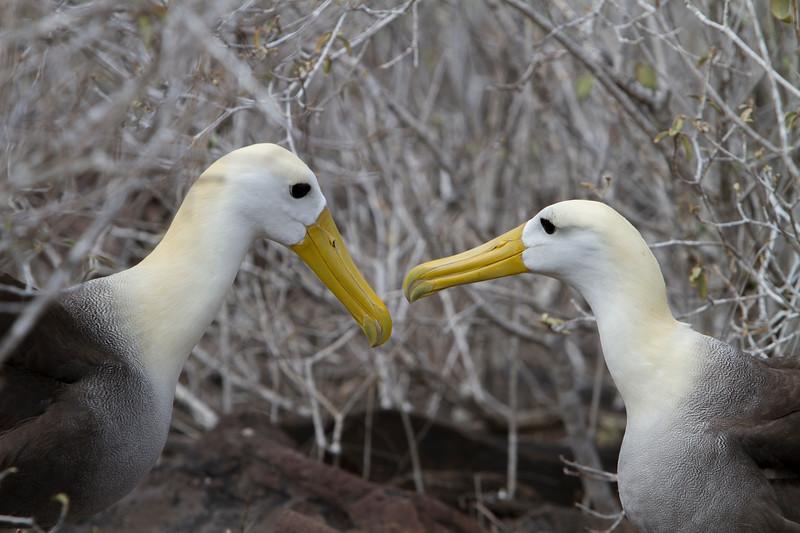 Albatross Pair 2 on Floreana.jpg