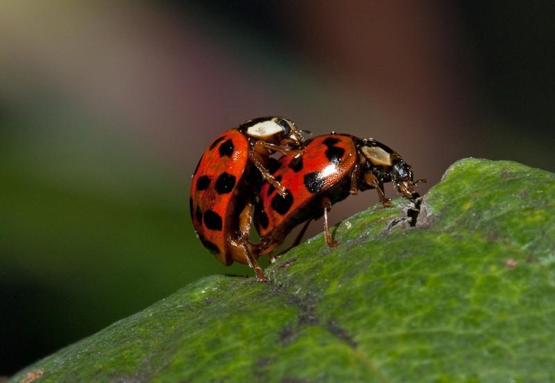 Mating ladybugs (coccinellidae).