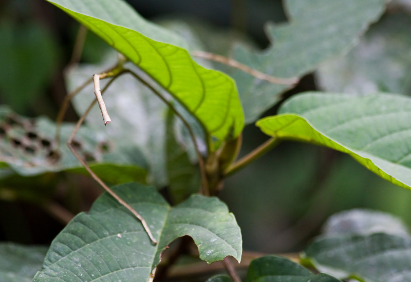 "The thing in the left half of the image is not a part of a plant, but a ""walking stick"" insect."