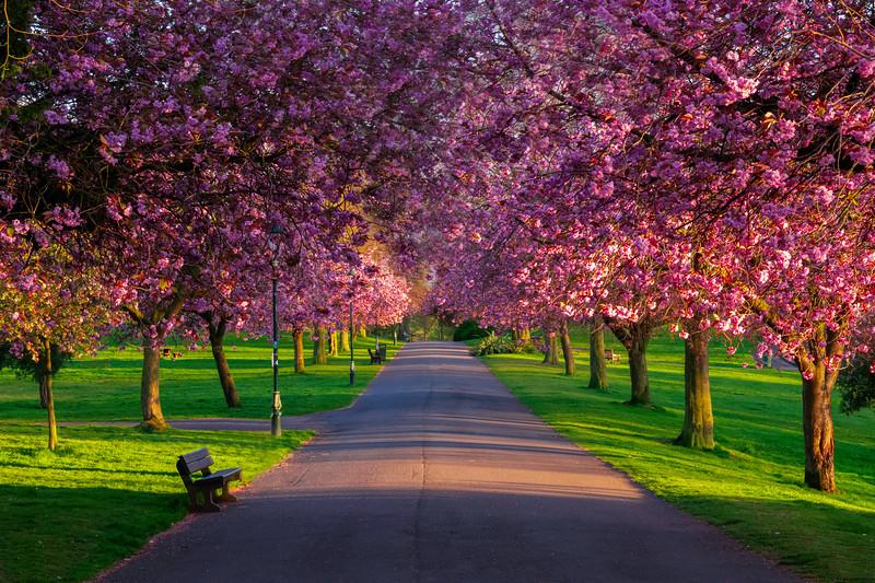 avenue of blossom.jpg