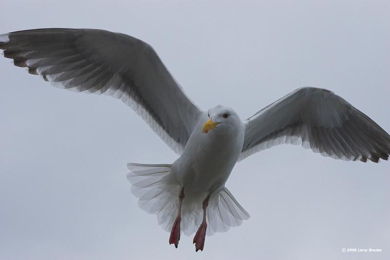 Western Gull in flight along the central Oregon coast