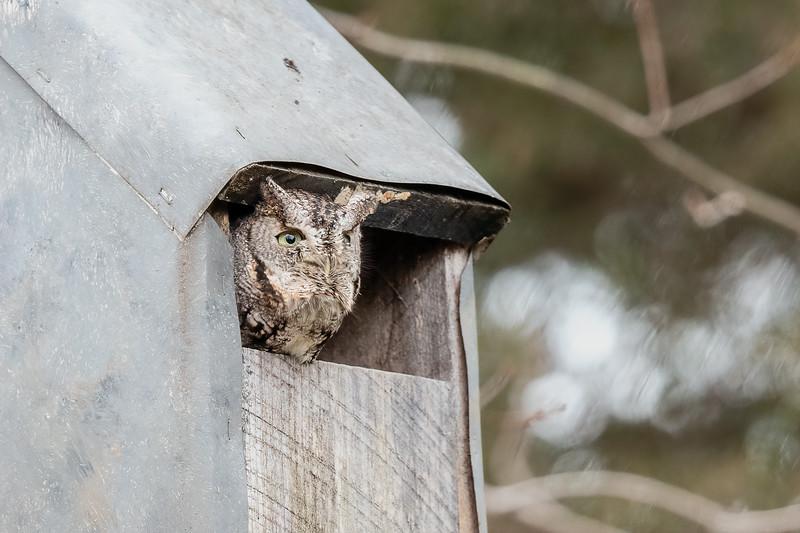 Screech Owl (Gray morph)