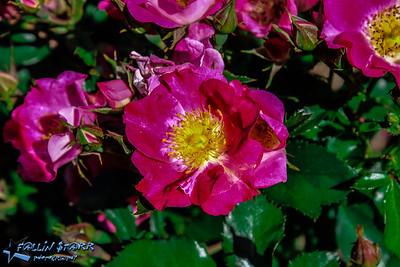 Return to Schenectady's Rose Garden