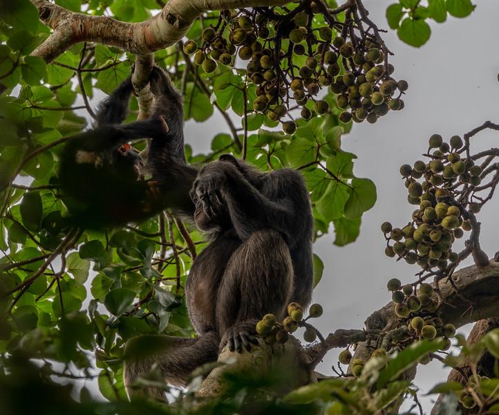 Uganda_T_Chimps-1251.jpg