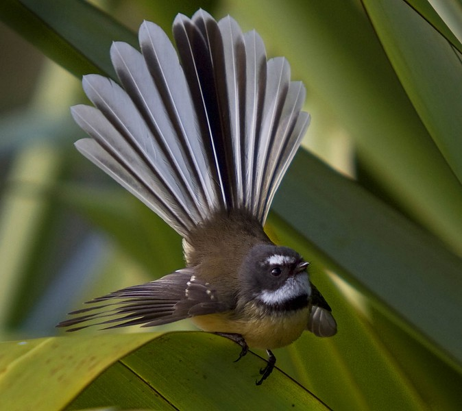 Fantail on Flax.jpg
