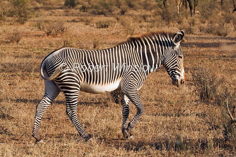 Zebras - Grevy's