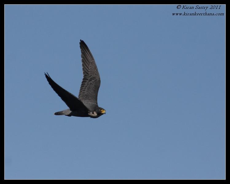 Peregrine Falcon in flight, La Jolla Cove, San Diego County, California, December 2011