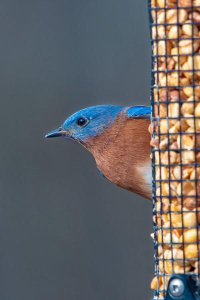Bluebirds (2 of 19).jpg