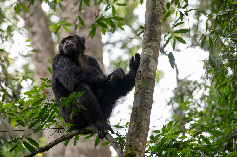 Uganda_T_Chimps-411.jpg