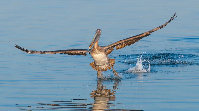 Pelicans-42.jpg