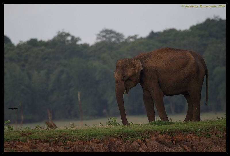 Juvenile Tusker & Myna, Kabini, Mysore, Karnataka, India, June 2009