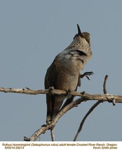 Rufous Hummingbird F29214.jpg