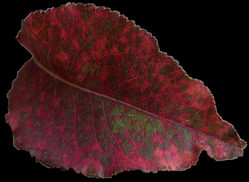 Leaf 50.png