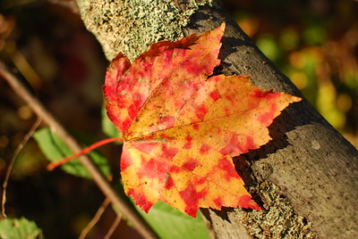 Autumn Leaves 2010
