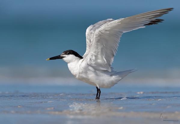 Sandwhich Tern