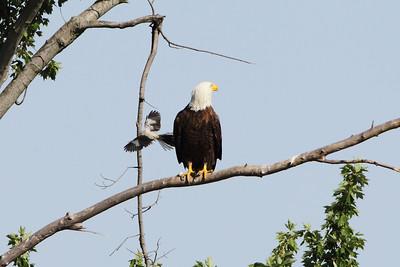 Eagle Mobbed by Mockingbirds