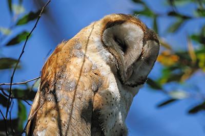 Barn Owls 2009