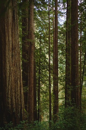 little redwoods - jewel !