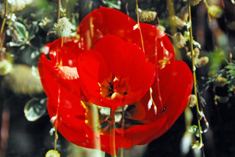 double tulip.jpg