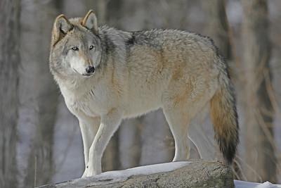 Wolf Conservation Center, South Salem, NY