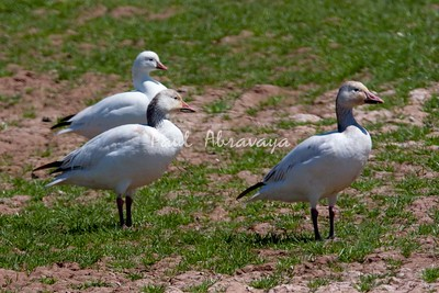 Ross and Snow Geese (mixed flock)