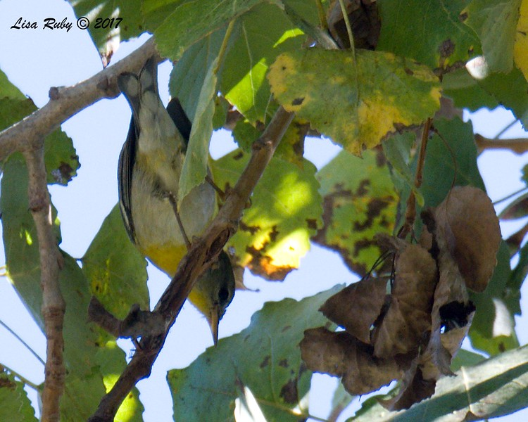 Northern Parula (horribly uncooperative bird :-)) - 11/22/2017 - San Diego River Mission Valley