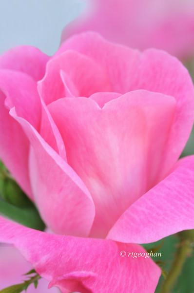May 27_Pink Rosebud_0989.jpg