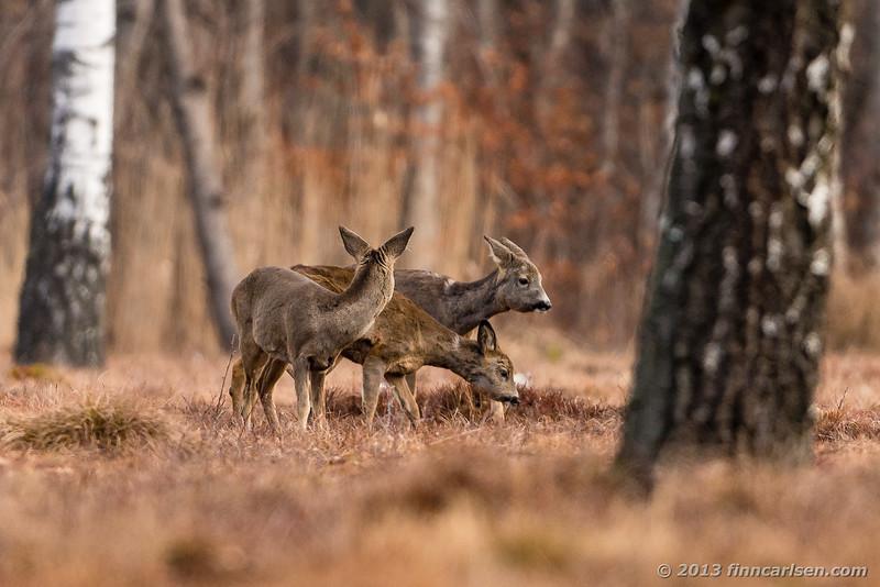 Rådyr (Roe Deer - Capreolus capreolus)