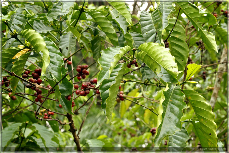 Coffee trees grew along the trail!