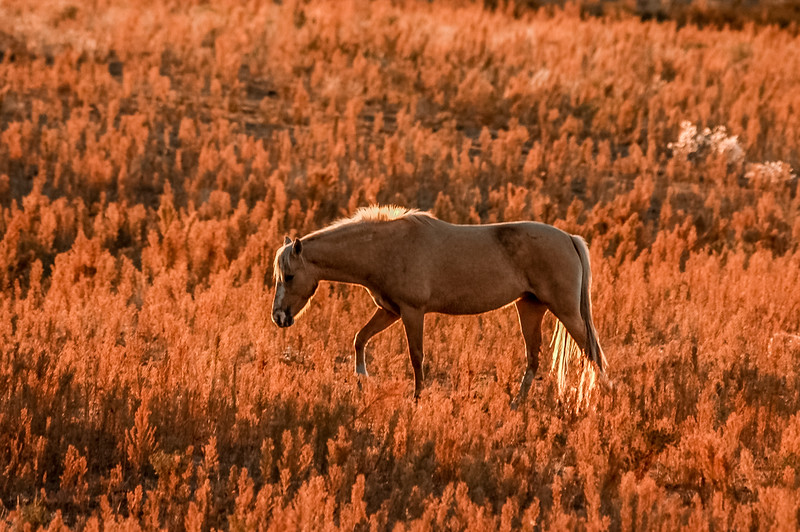 Backlit Wild Horse Walking #2