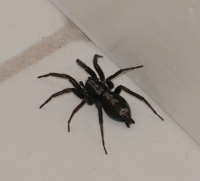 Herpyllus ecclesiasticus (Eastern Parson Spider)