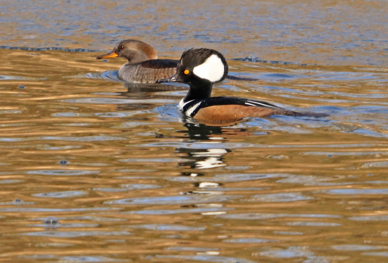 hooded merganser 1.jpg