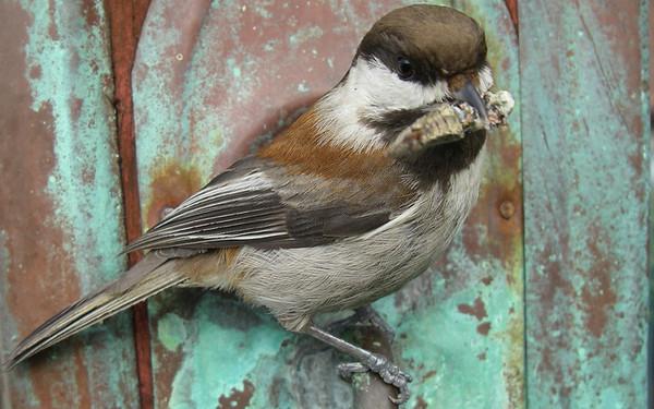 201204 Backyard Chickadees