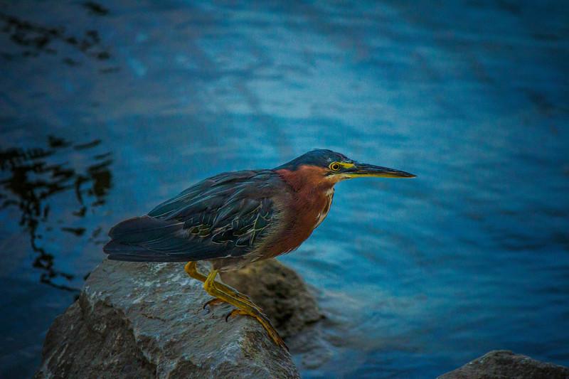 8.30.17 - Prairie Creek Recreation Area: Green Heron