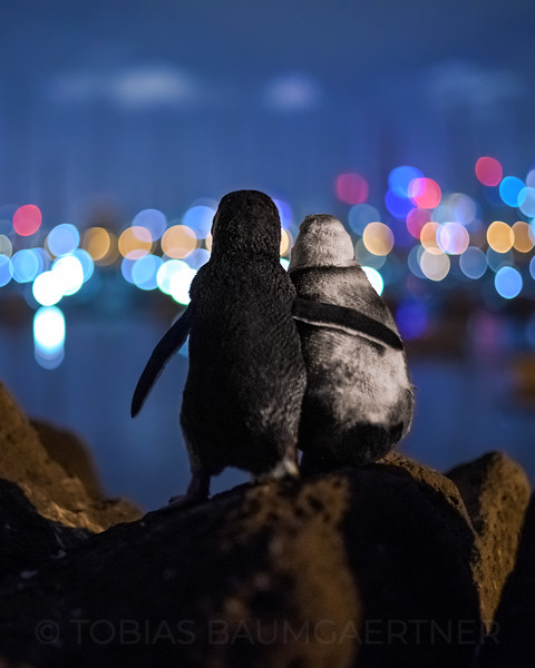 Fairy Penguins watching Melbourne Skyline 1 Portrait