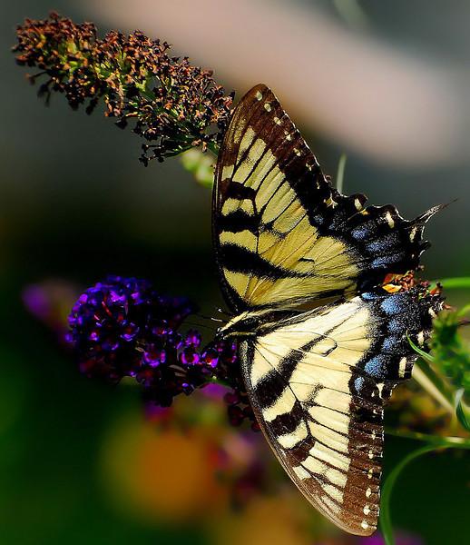 Butterflies 08-02-2008 74.JPG