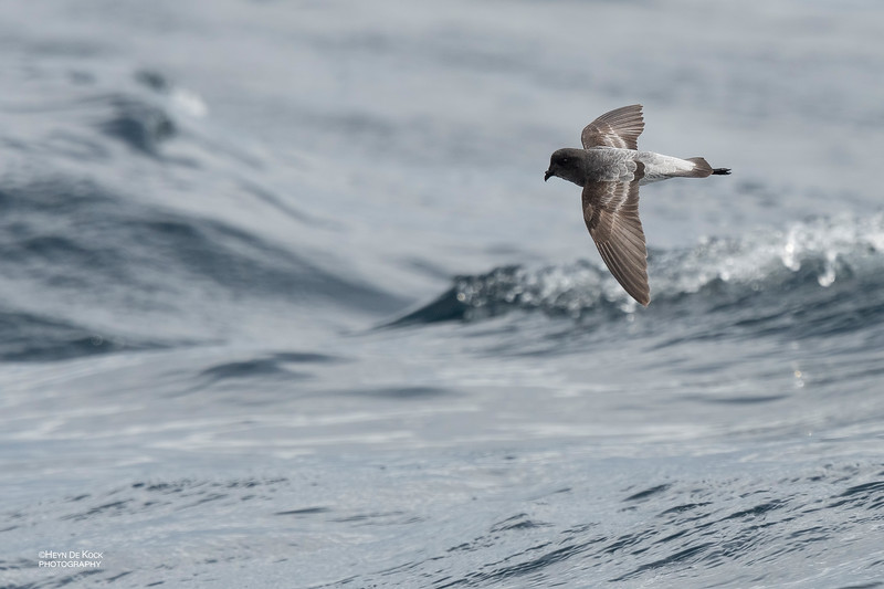 Grey-backed Storm-Petrel, Eaglehawk Neck Pelagic, TAS, Dec 2019-1.jpg