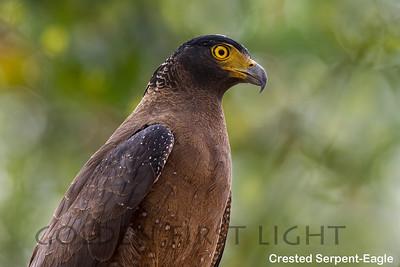 Crested Serpent-Eagle, Ranthambhore, India