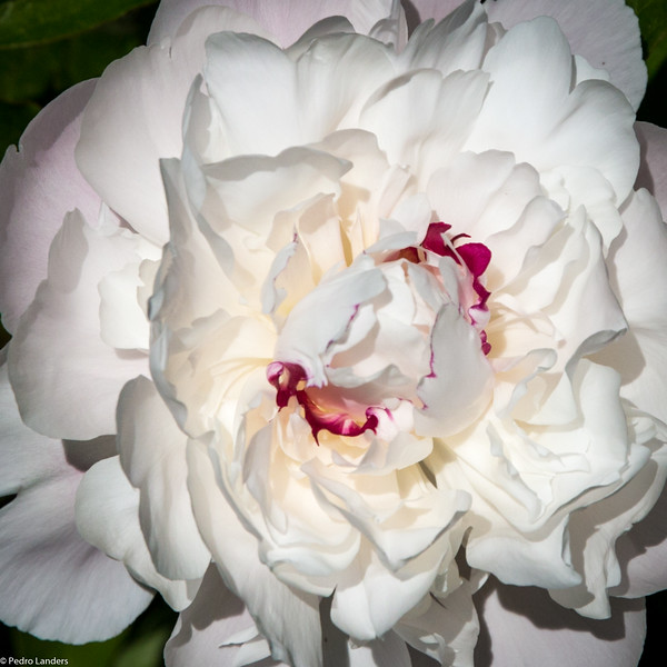 Old North Bridge Peony 2
