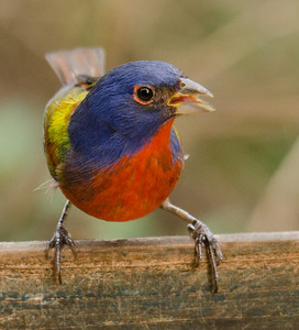 This colorful little guy is a Painted Bunting.  We have Blue Buntings in Wisconsin but I have never seen one of these.