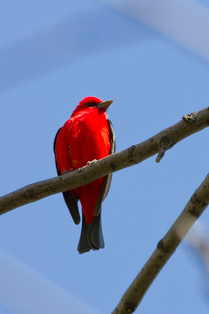 Tanager's